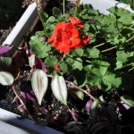 Geraniums and Tradescantia